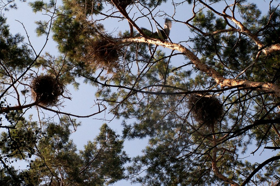 Гнездовье цапель